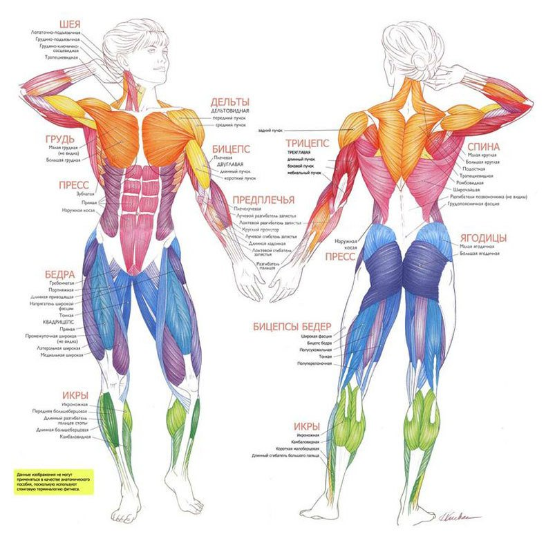 Функции и значение отдельных органов и частей тела.